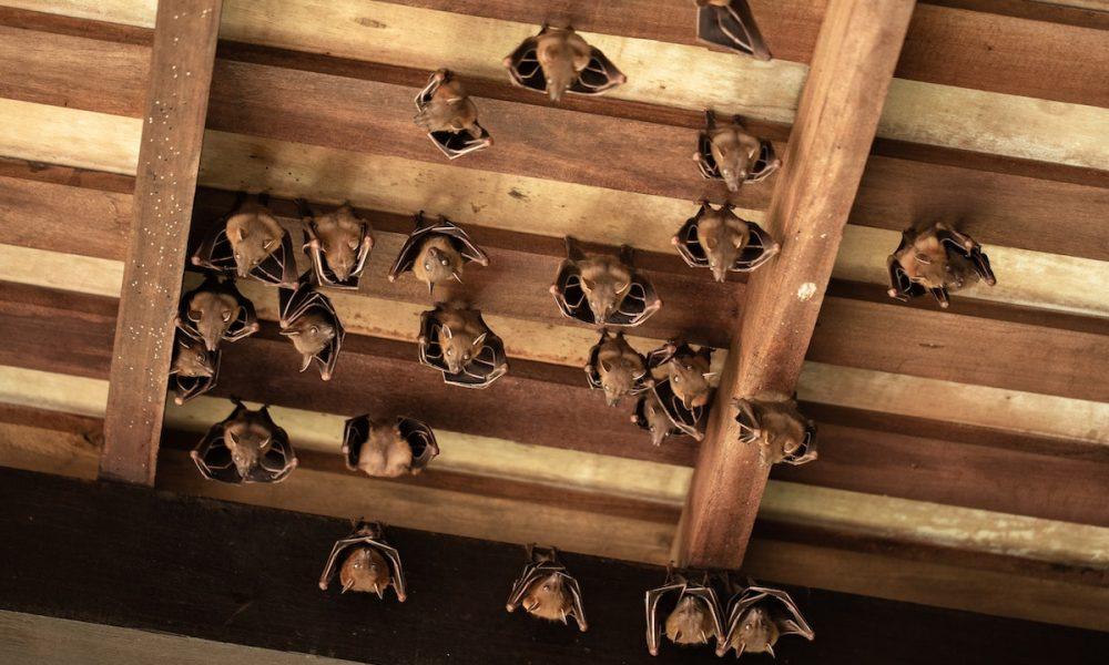 bat infestation