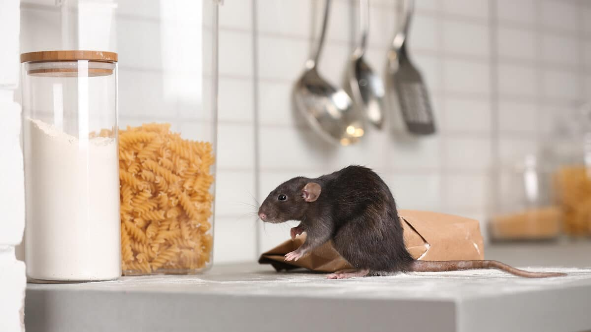 Remove Rodents