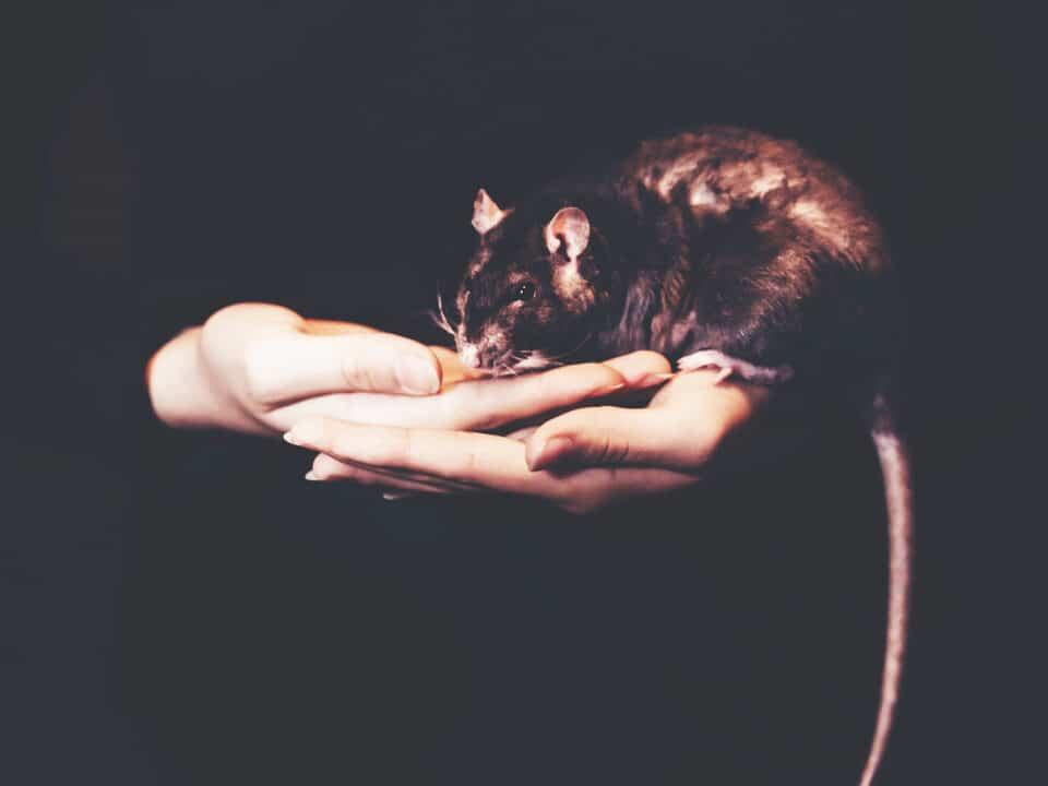 are rats dangerous