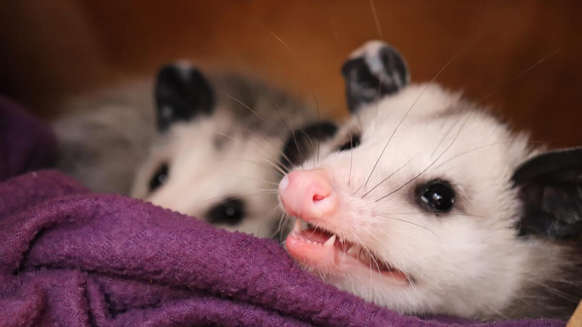 do opossums carry rabies