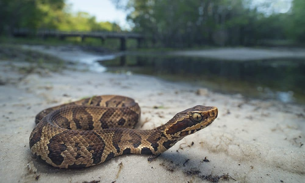 The Cottonmouth Snake