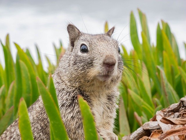 Squirrels Considered Pests