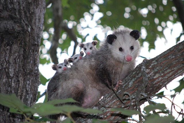 Opossums in Your Backyard