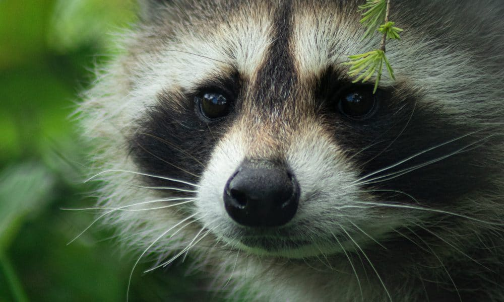 Why Raccoons Are Considered Pests.