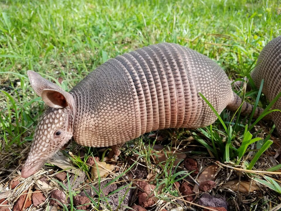 armadillo in the garden