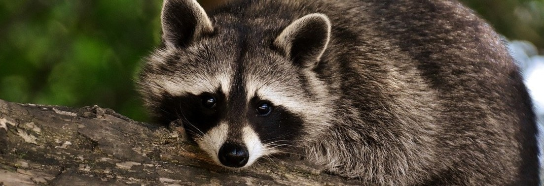 raccoon-3537985_1280