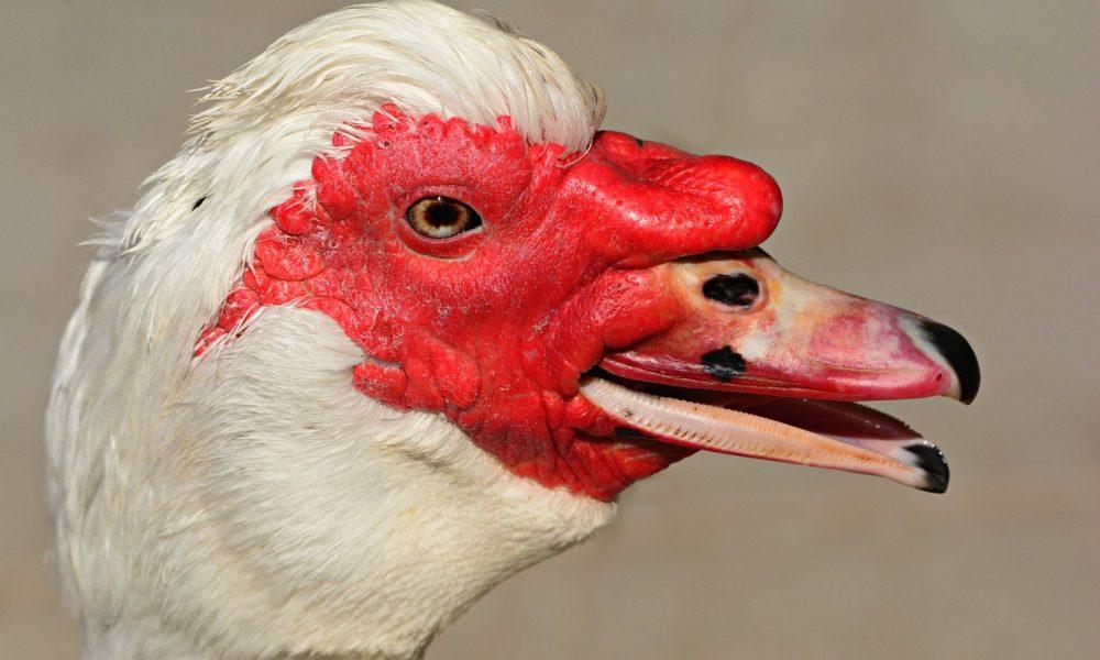muscovy duck