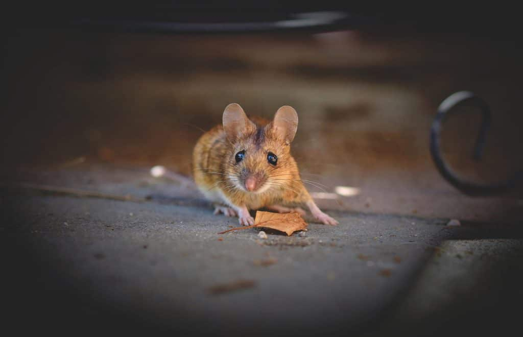 House Mouse
