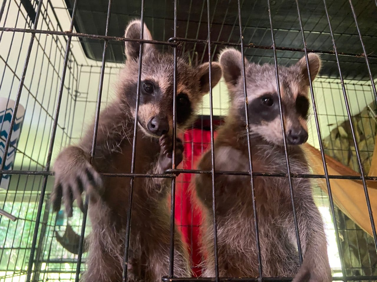 Brother and sister raccoon babies removed from an old truck