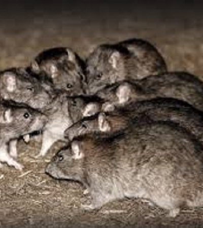 Bunch of rats