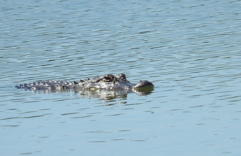 One of three alligators removed from golf course