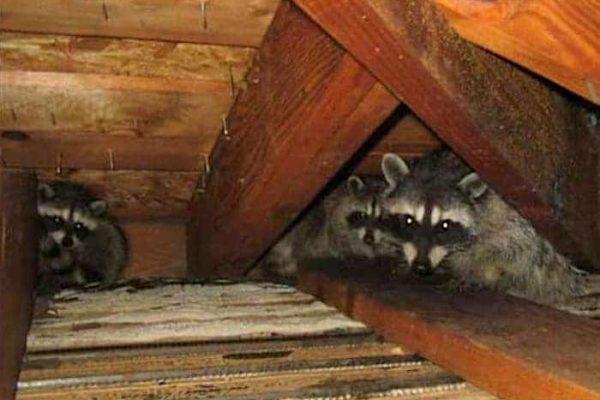 Raccoon family in attic