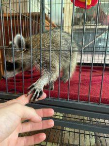 Raccoon high five at rehab center