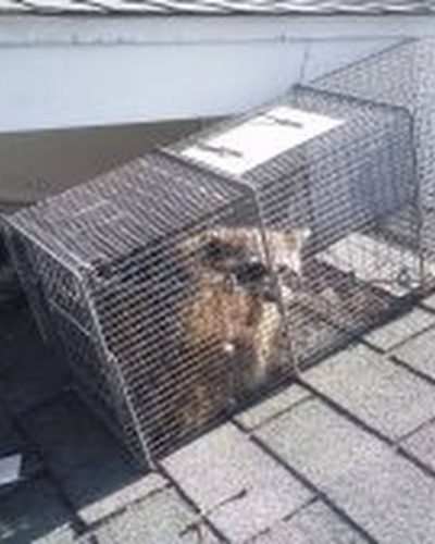 Raccoon removal cage