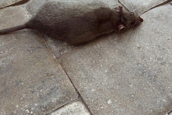 Rat removal dead rat
