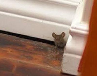 Rat under door