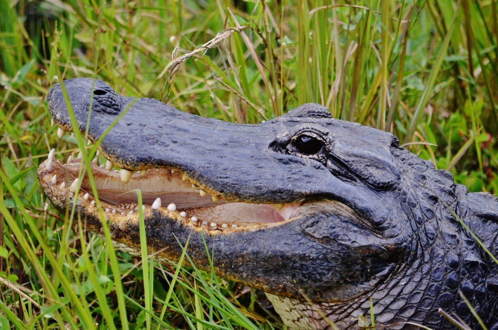 Florida's Wildlife- Alligator
