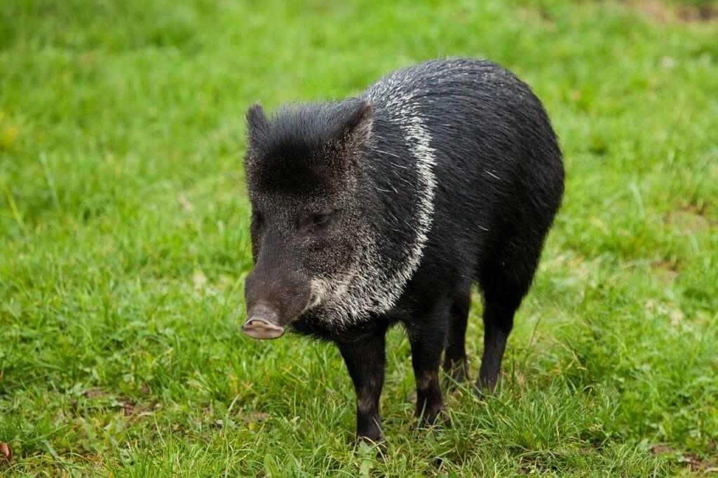 Feral Hog Removal