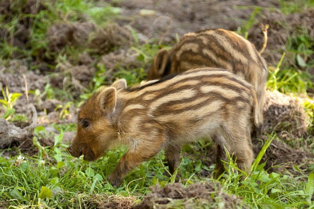 feral hogs babies