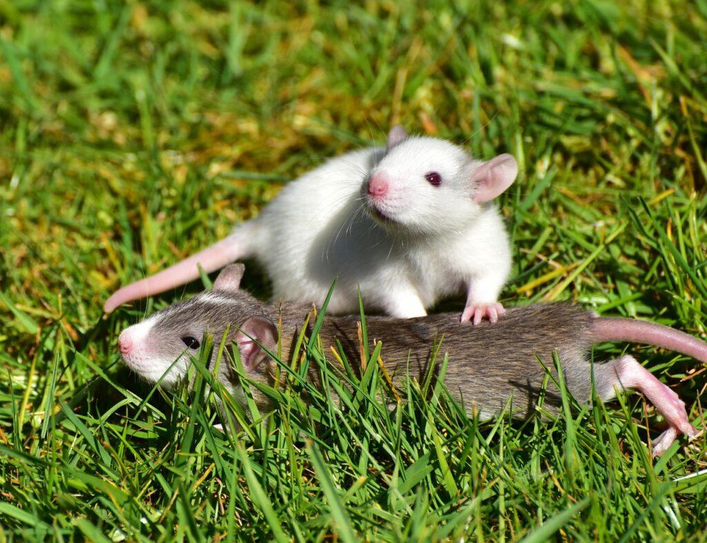 rat's breeding season